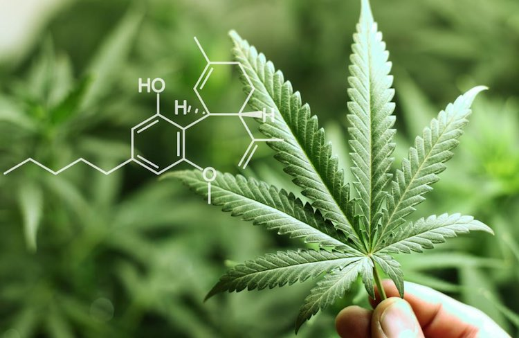 THC is the most important active ingredient contained in cannabis or cannabis