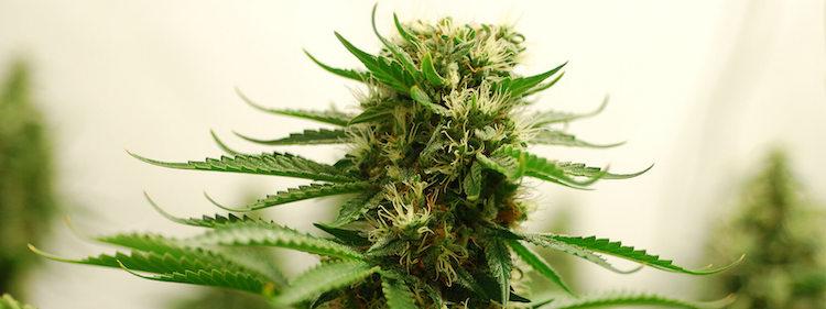 The Amnesia Haze is a cannabis plant (and marijuana light)