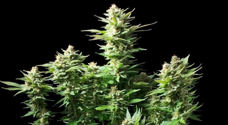 This variety of marijuana, despite being among the most luxuriant and productive