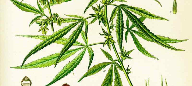 Sativa cannabis variant