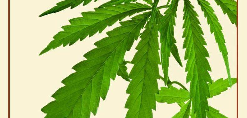 Indica Marijuana variant