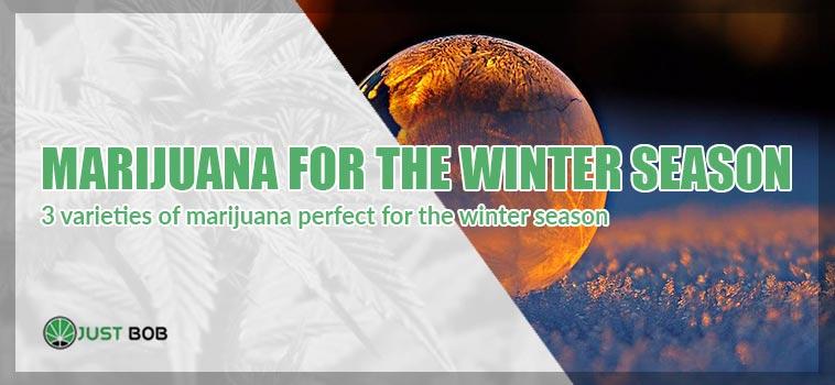 winter season marijuana plant