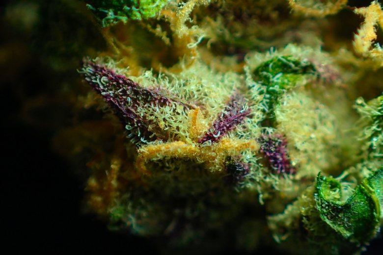 Legal sativa hemp flower