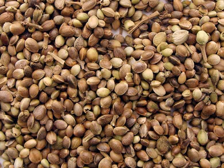 Legal sativa hemp's seeds