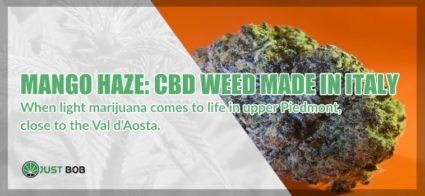 Mango Haze is CBD weed made in Italy