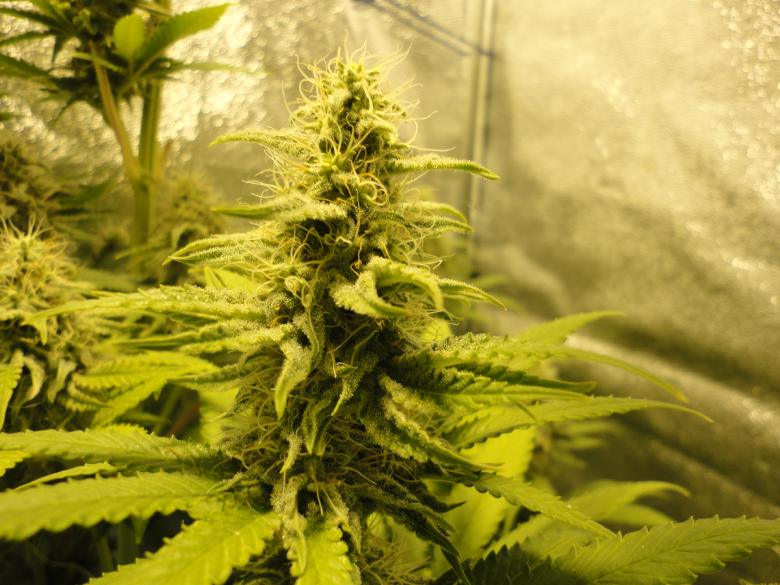 White Widow marijuana cbd indoor cultivation