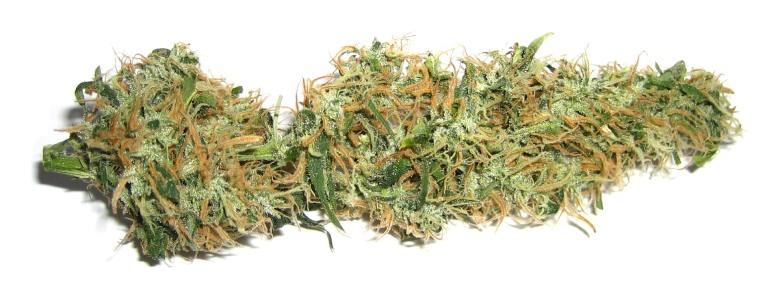 cbd buds of legal marijuana plant