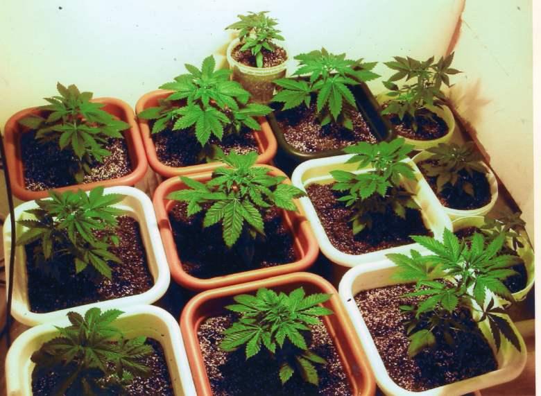 italian cultivation of legal cannabis