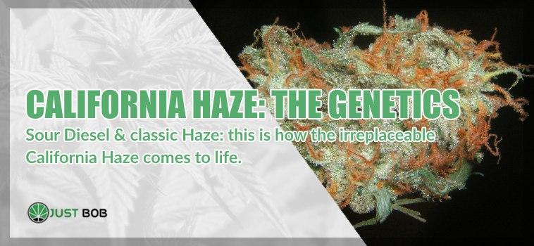 the genetics of California Haze legal marijuana